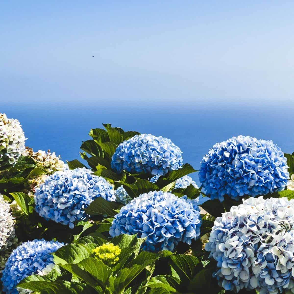 Blue hydrangeas with the ocean in the background.