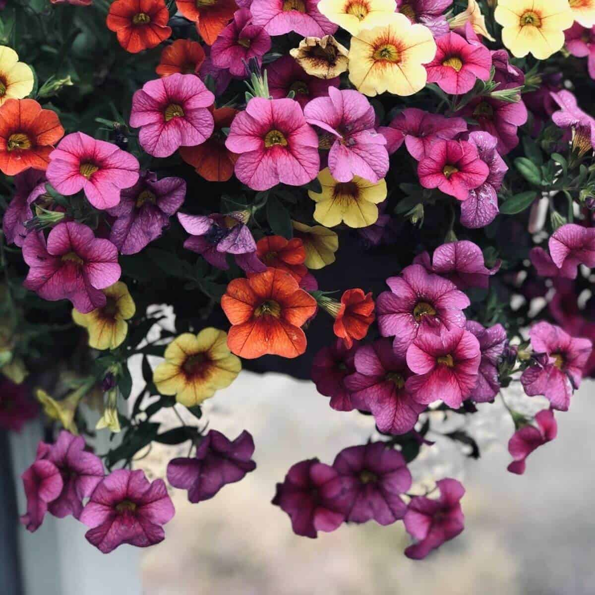Pink, red, orange, and yellow petunia flowers.