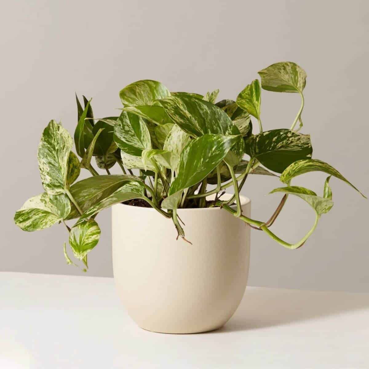 Pothos plant in a beige ceramic planter.