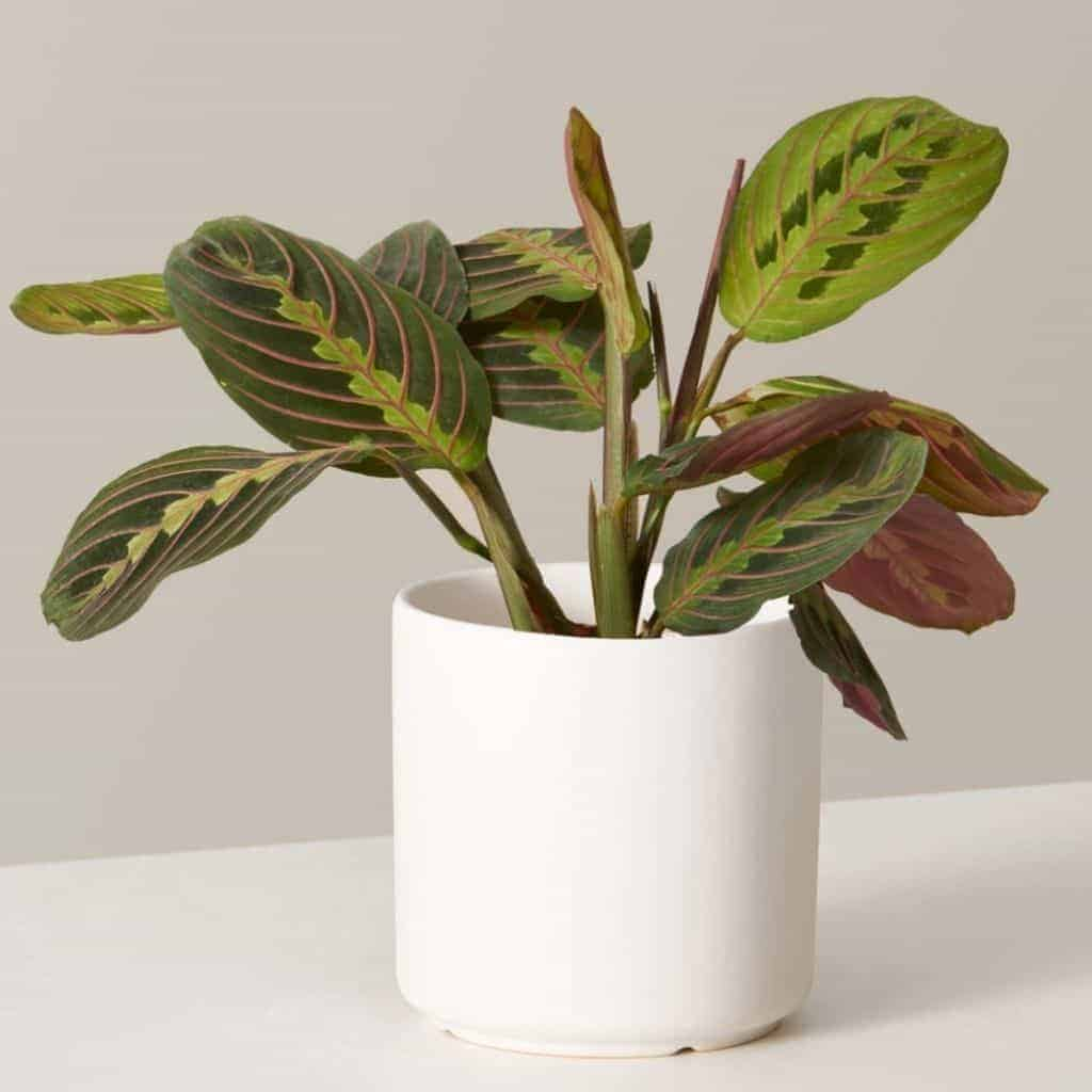 Maranta plant in a white planter.