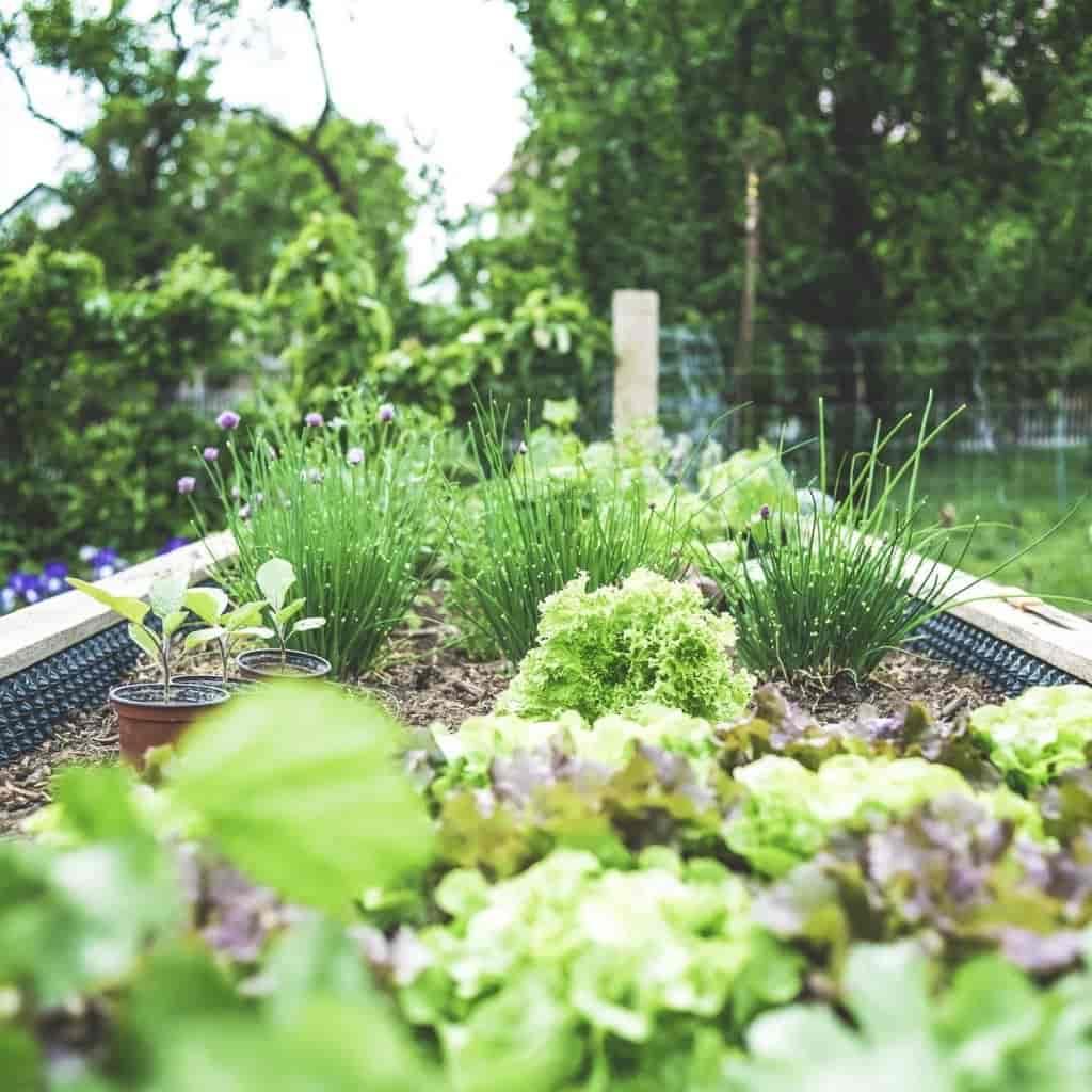 Outdoor vegetable garden.