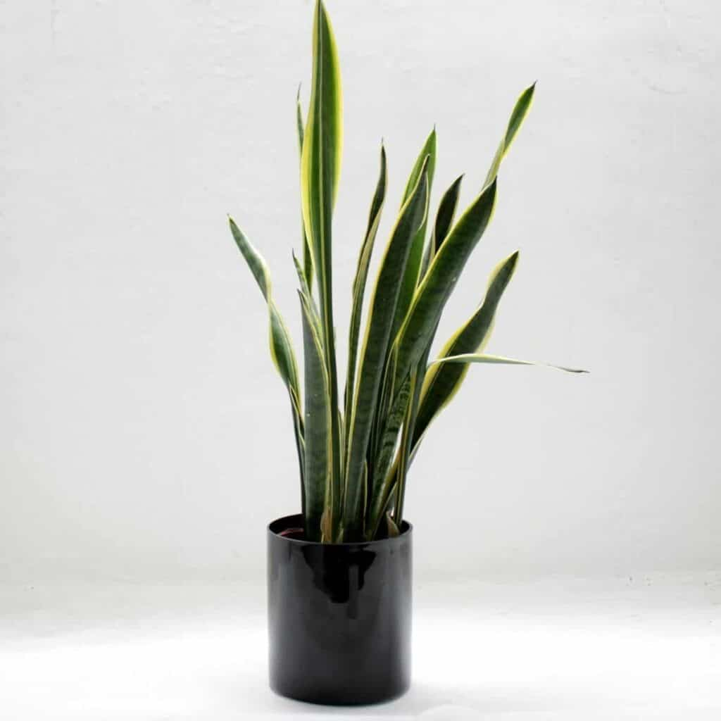 Snake plant in a black planter.