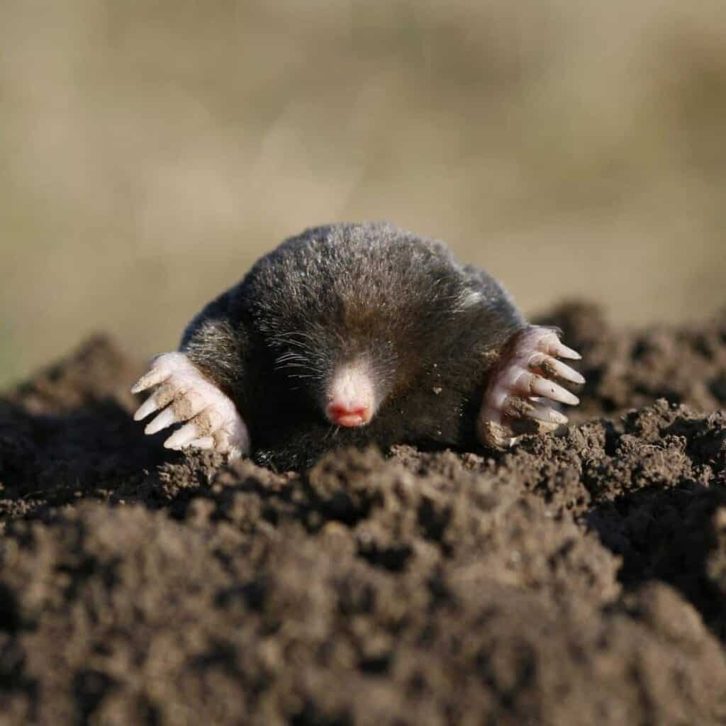 Mole in the dirt.